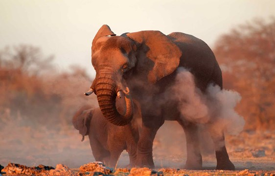 Large African elephant in the dust at Etosha National Park Namibia