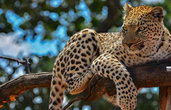 Leopard sitting on a branch as seen on a luxury safari holiday in Namibia