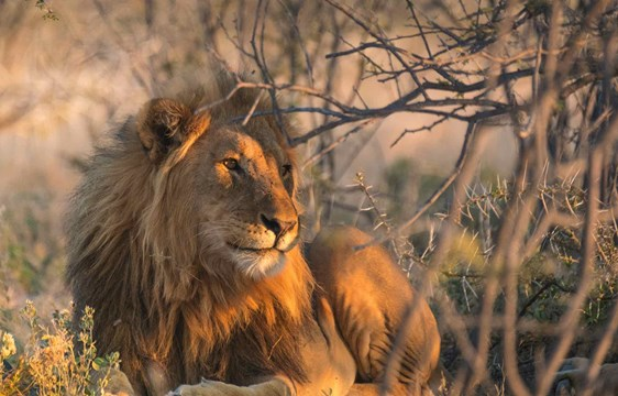 Male lion sitting at Okaukuejo Camp at Etosha National Park in Namibia
