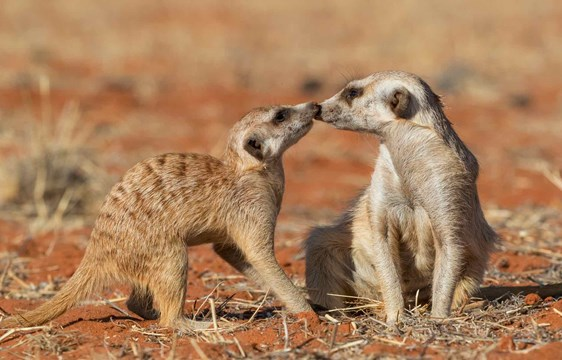 Meerkat couple playing in the Kalahari Desert in Namibia