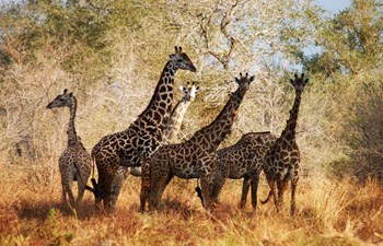 Masai giraffes at Selous Game Reserve in Tanzania