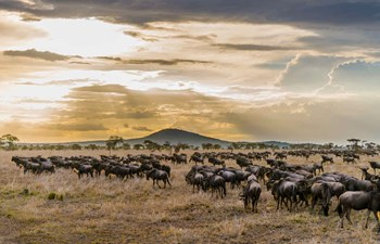 Wildebeest Migration in Serengeti National Park, Tanzania