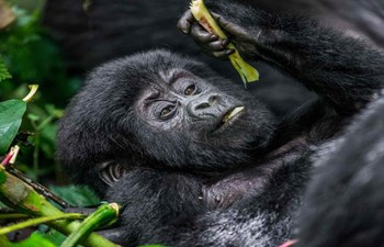 baby mountain gorilla in the Bwindi Forest National Park, Uganda