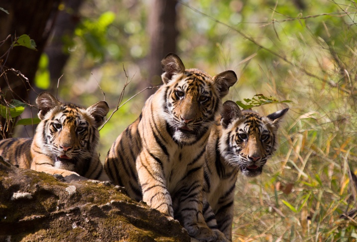 Tiger cubs in Bandhavgarh Tiger Reserve