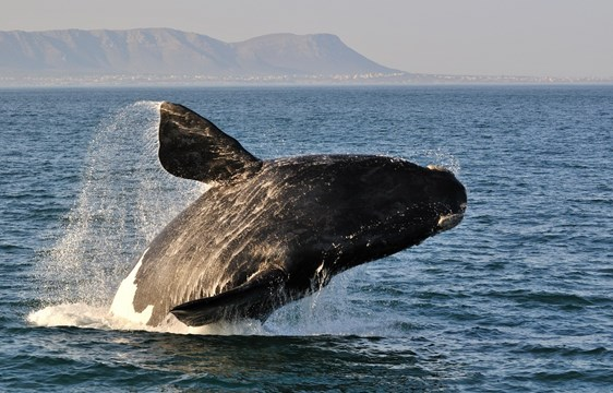 Whale jumping out of water in Hermanus