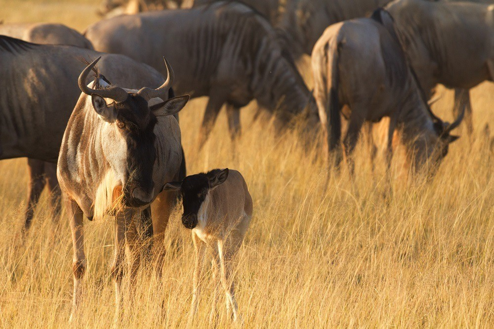Wildebeest with a baby calf