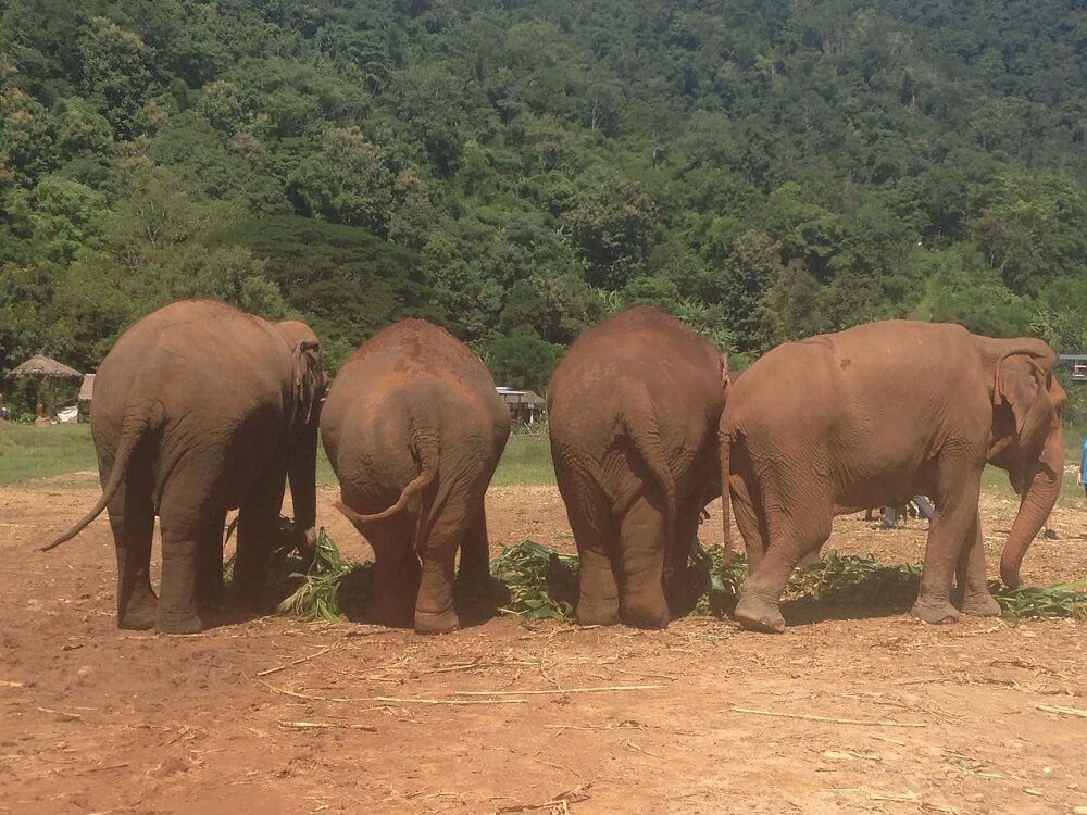 Four elephants eating at an ethical elephant sanctuary in Chiang Mai Thailand
