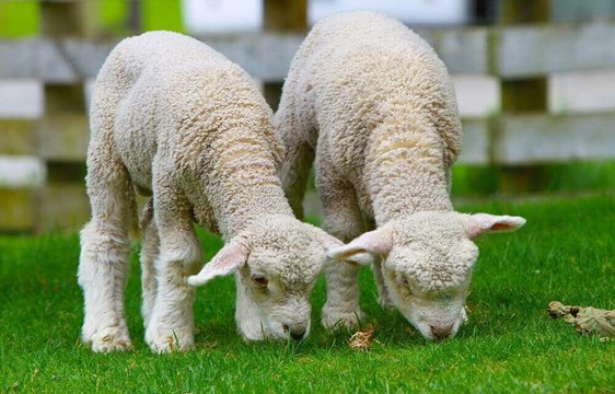 Newborn spring lambs in September in New Zealand