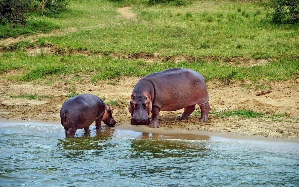 Hippo family at the Kazinga Channel