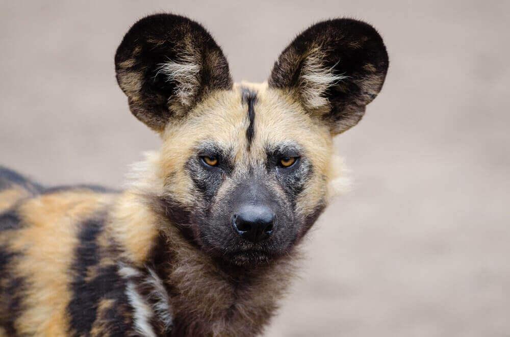 African wild dog or painted wolf staring at camera