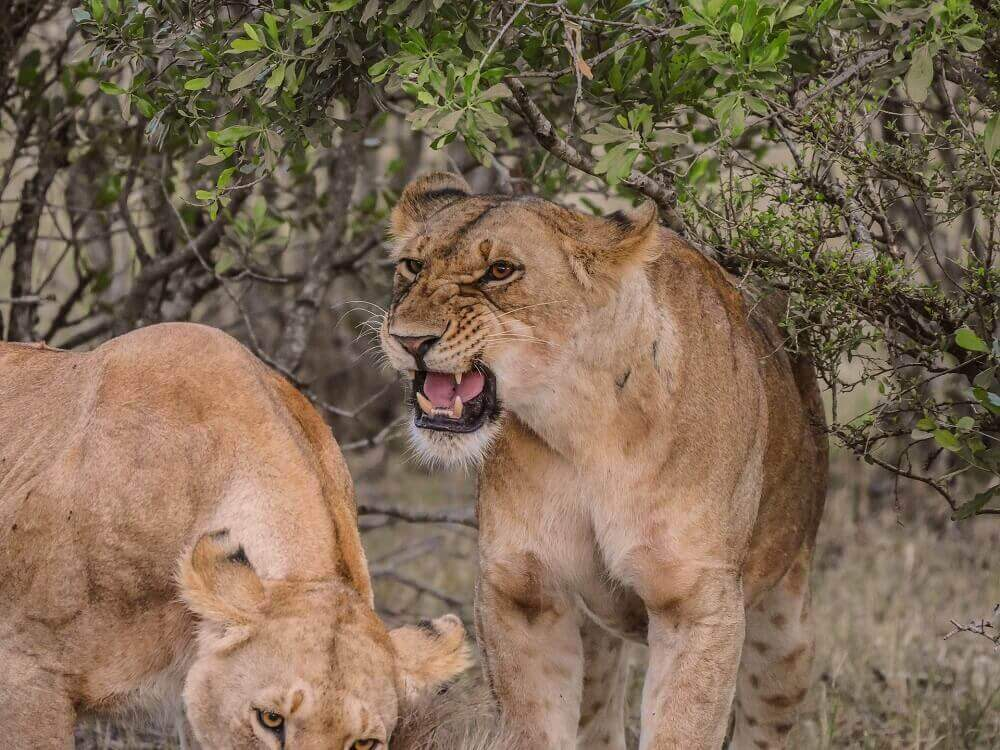 Lioness roar on the Masai Mara in Kenya