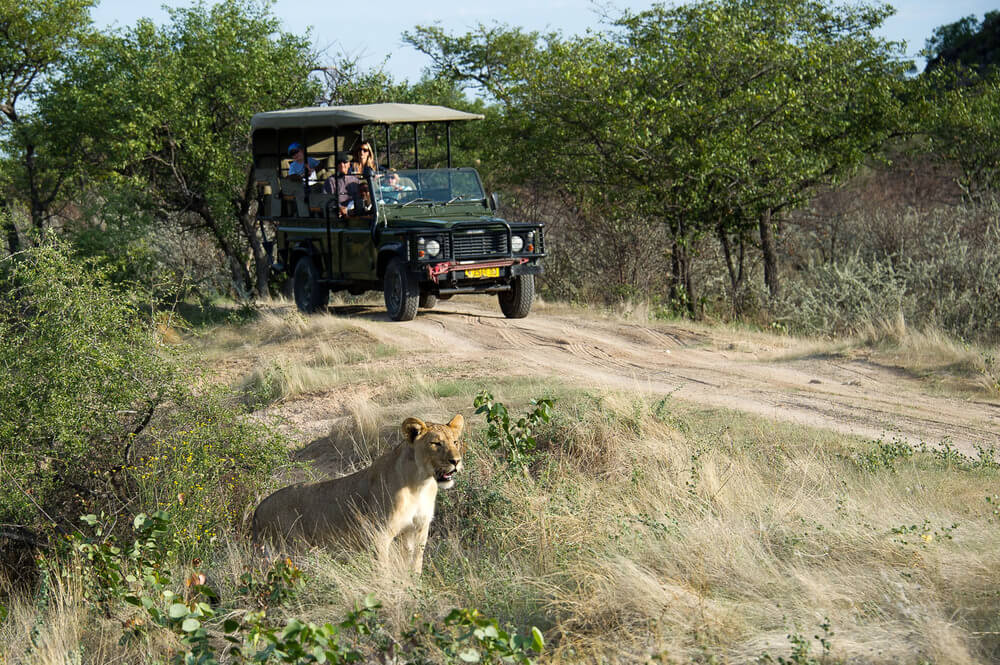 ongava-lionness-african-safari-game-drive