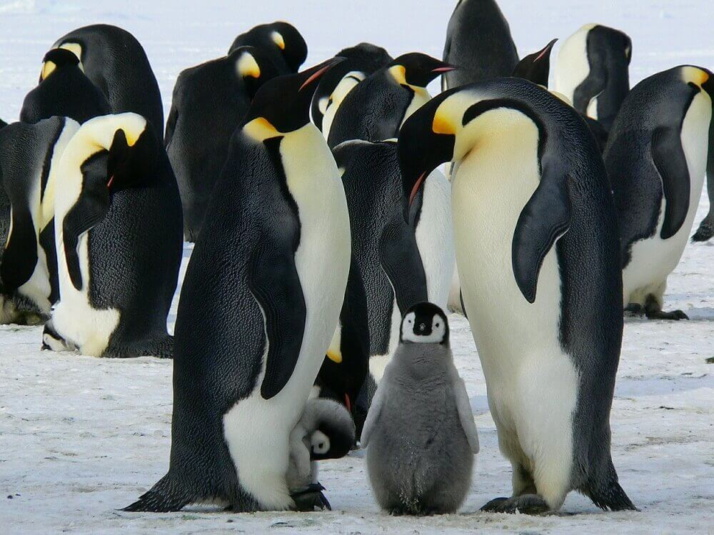 Emperor penguins and chick huddling in Antarctica
