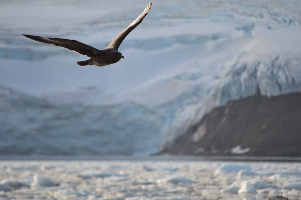 Flying skua seabird in Antarctica