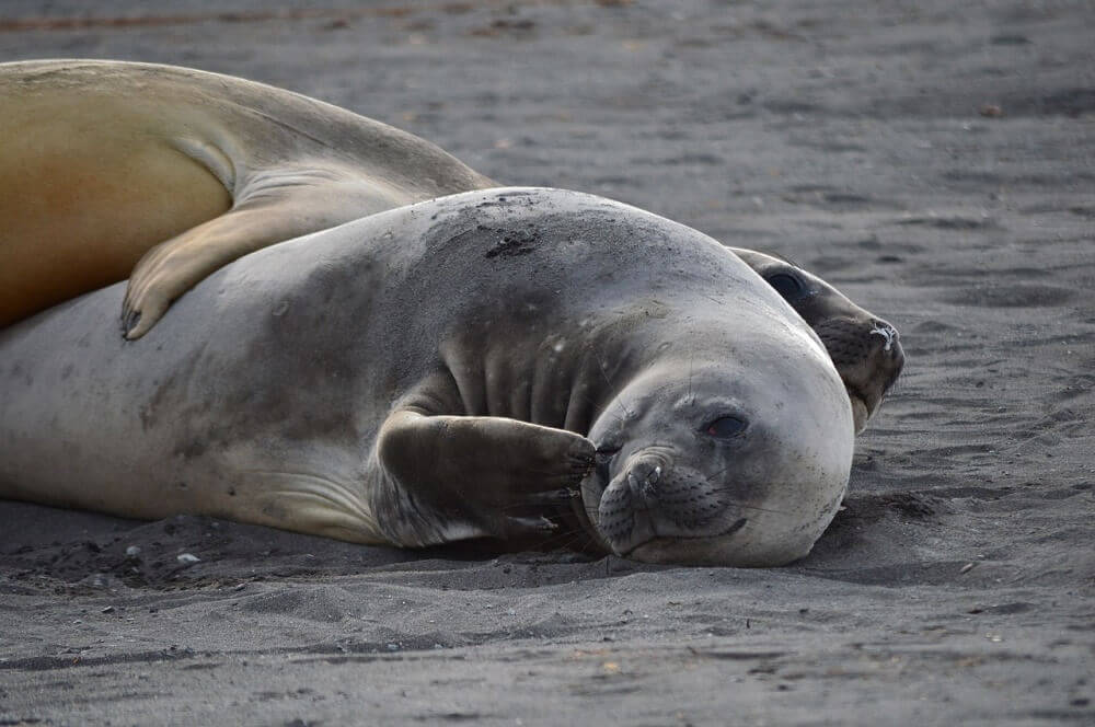 Seals lying on a beach in Antarctica