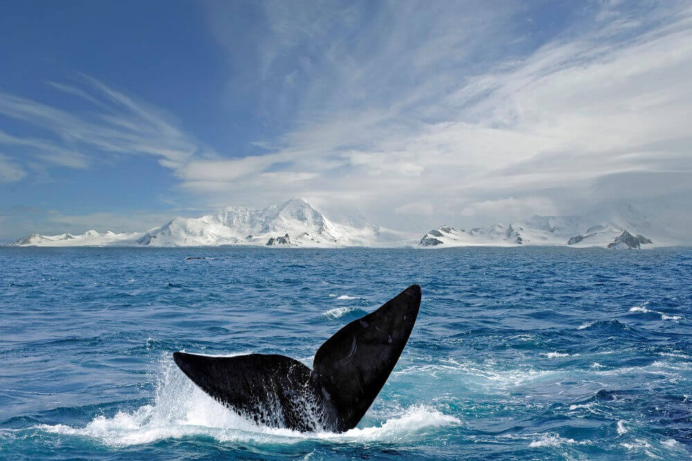 Whale tail around the South Shetland Islands in Antarctica