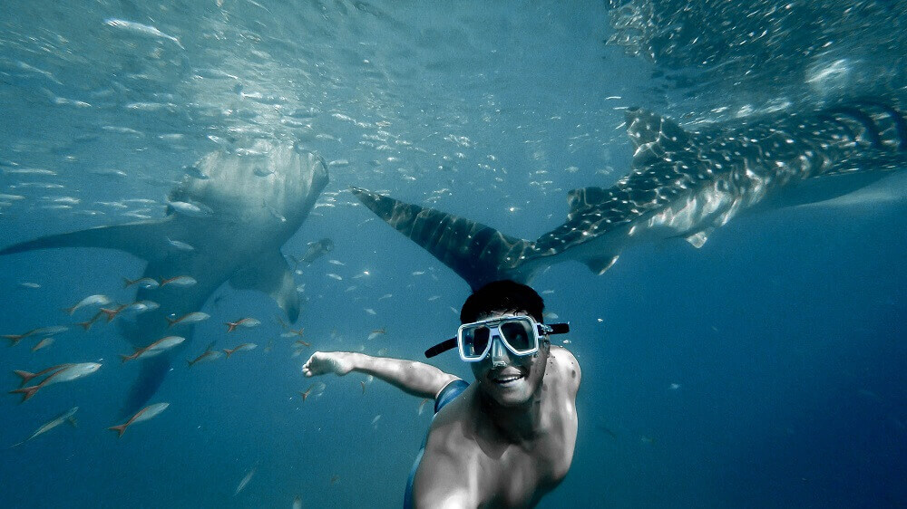 Swimming and snorkelling with whale sharks