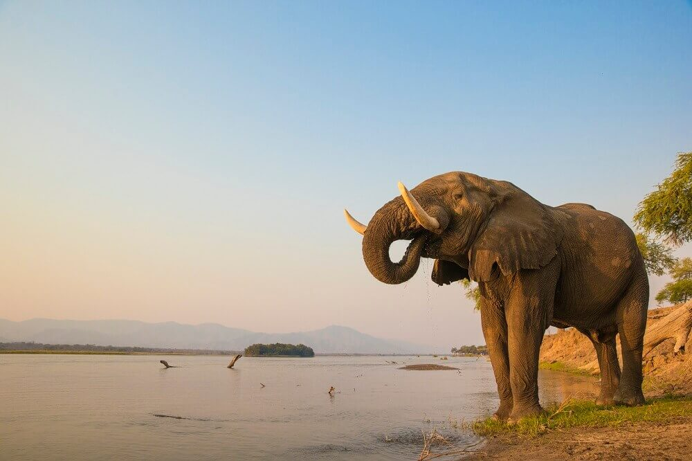 African elephant drinking from the Zambezi River in Zambia