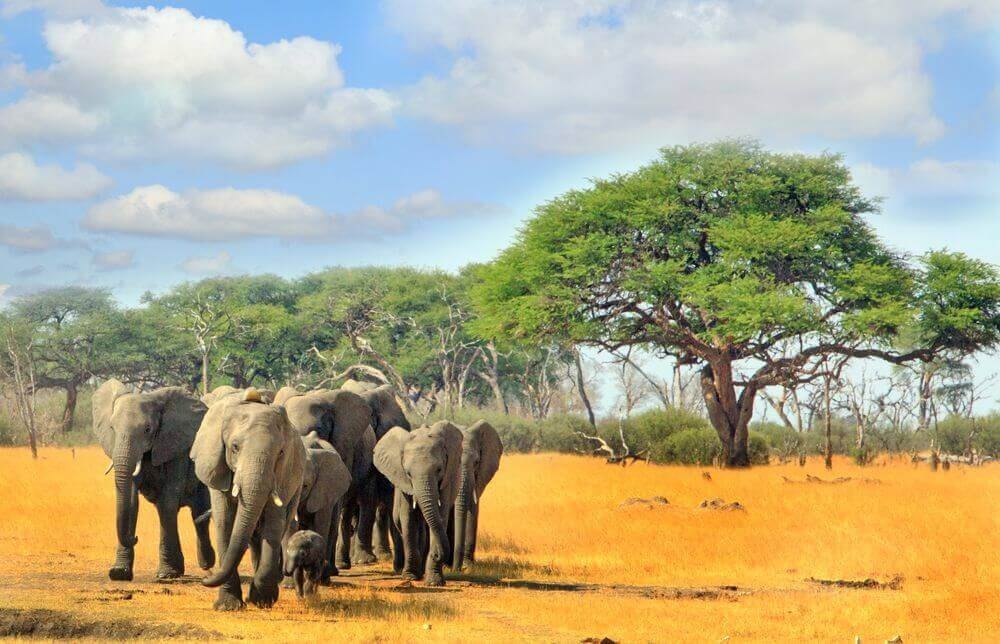 herd of elephants walking through grasslands in zimbabwe