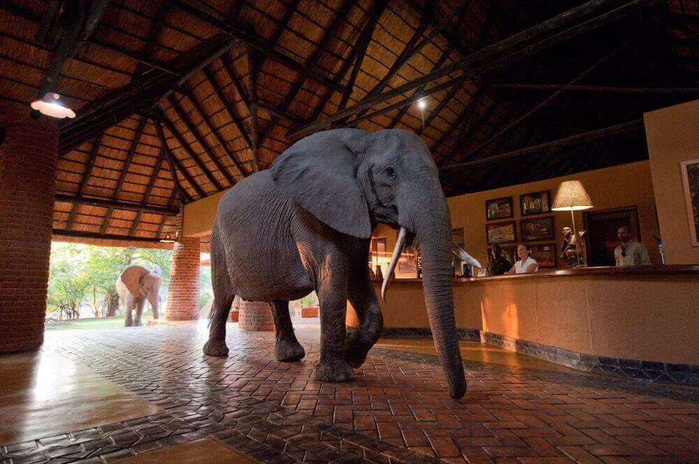 elephant family walking through the reception of mfuwe lodge in zambia