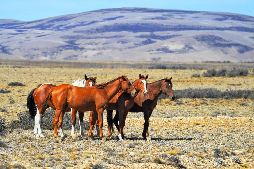 horses in the pampas farmlands argentina