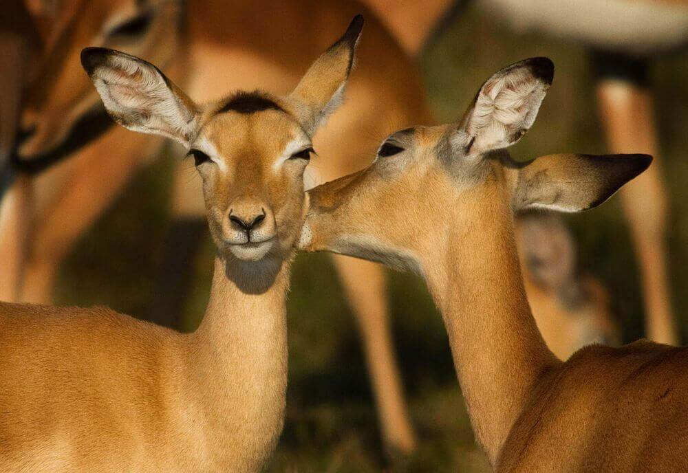affectionate impalas in south luangwa national park zambia