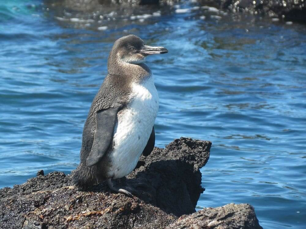 galapagos penguin perched on a rock in the sea