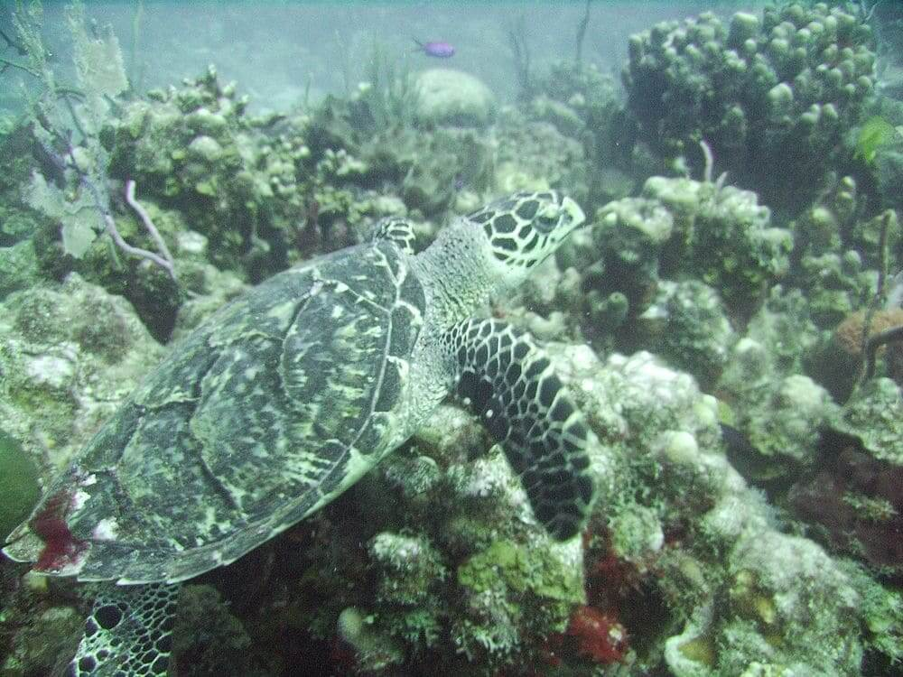 hawksbill sea turtle swimming amongst coral