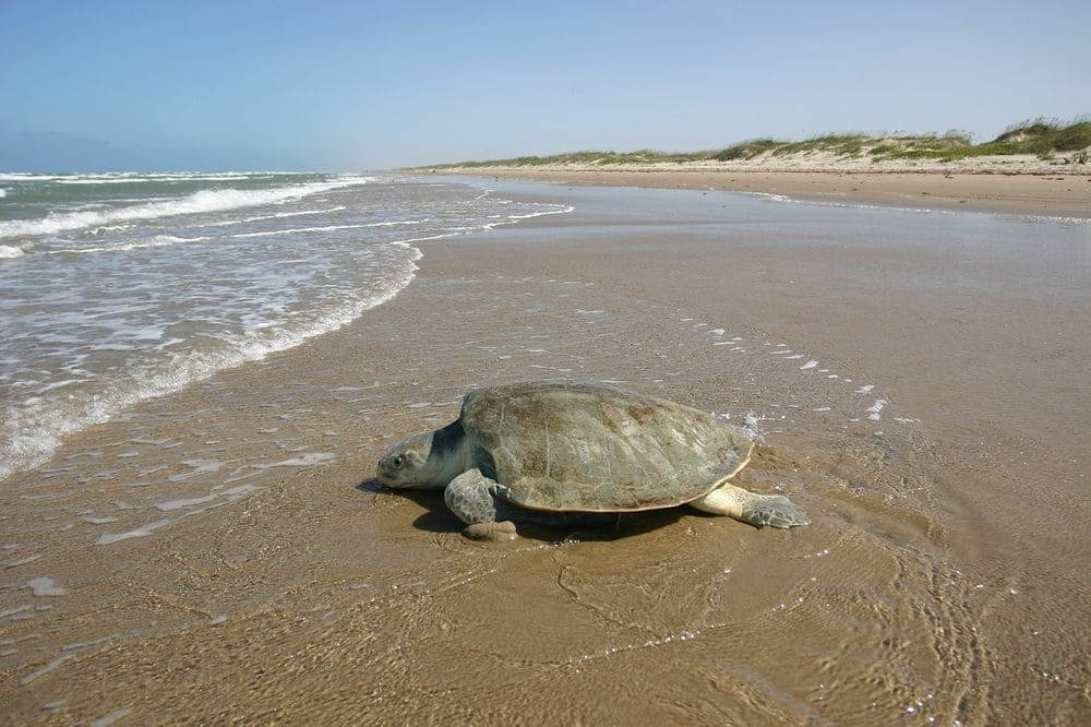 kemp's ridley sea turtle on the beach moving into the ocean