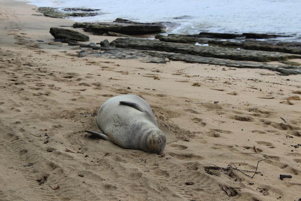hawaiian monk seal lounging on the beach