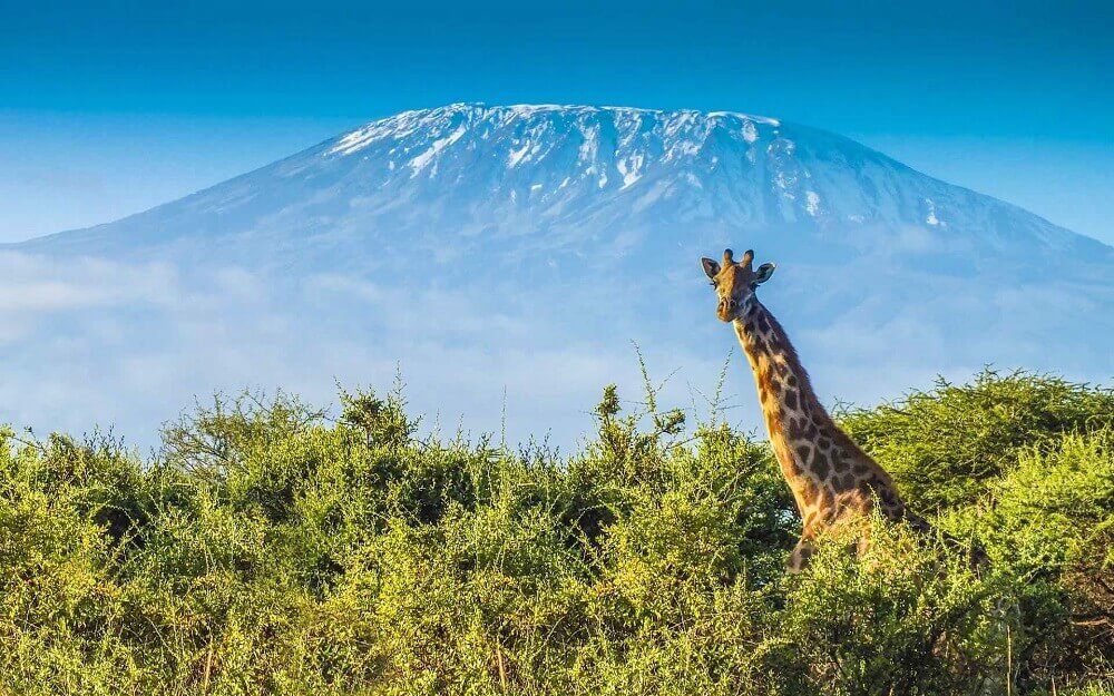 Mount Kilimanjaro view with giraffe in Tanzania