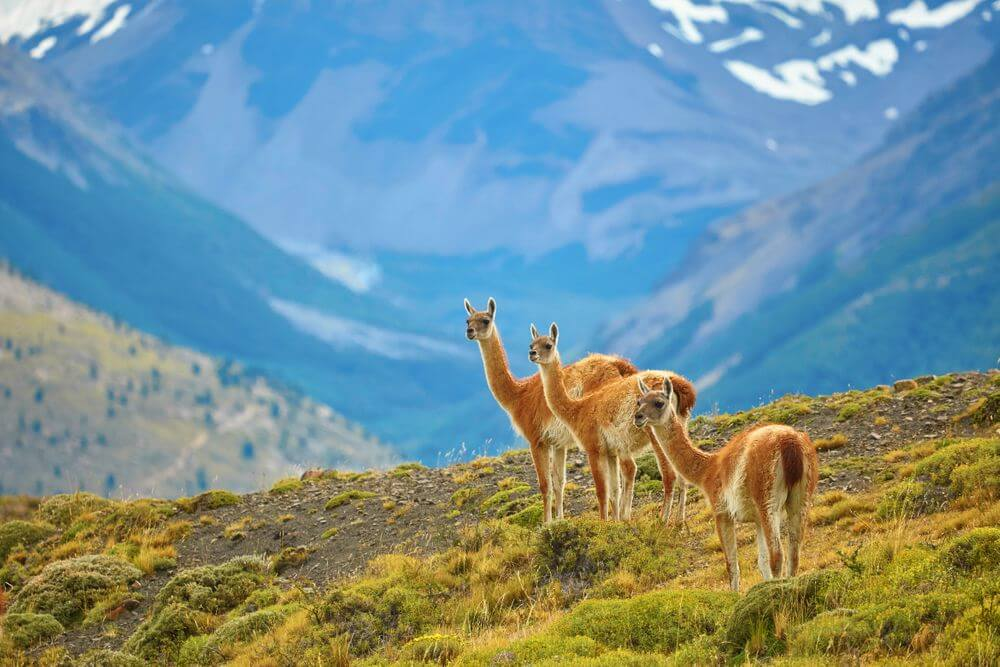 guanacoes in the grassy hills of torres del paine, chile