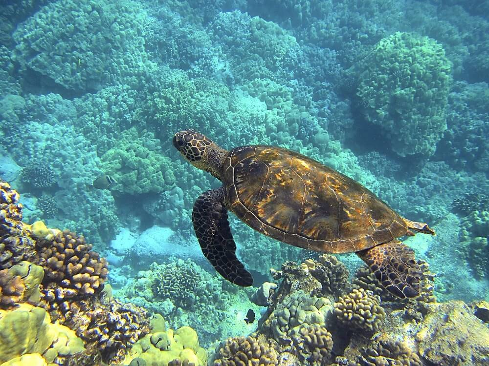 Sea turtle in a clear ocean swimming next to coral