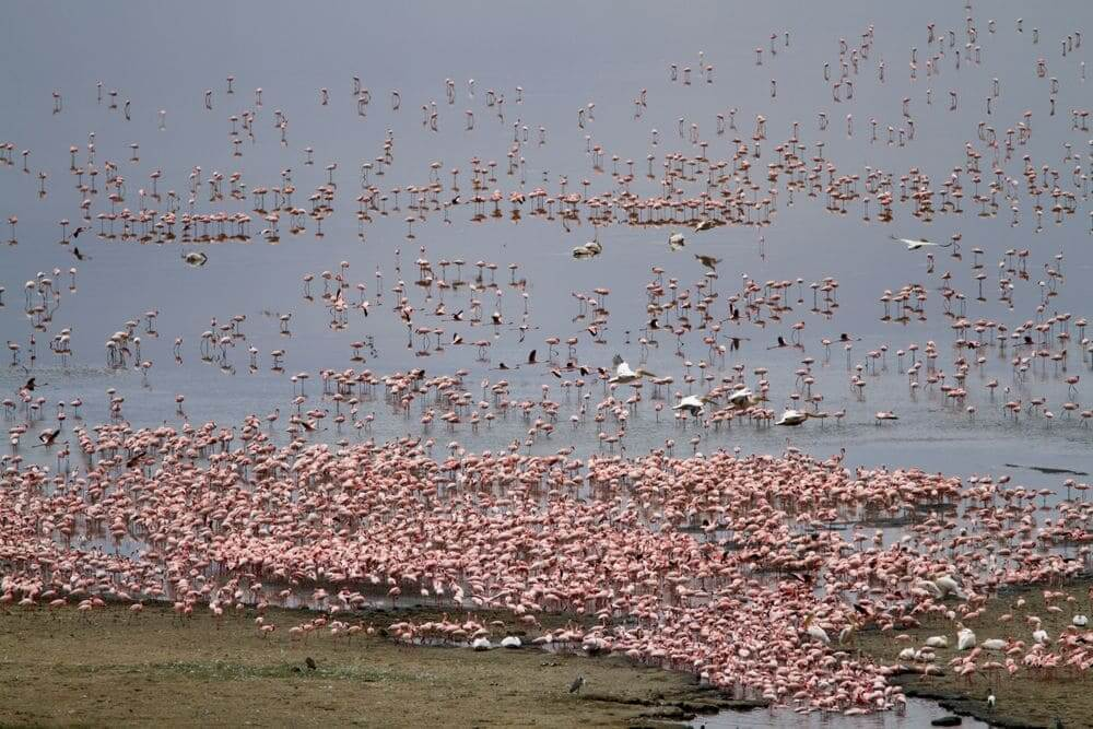 flock of pink flamingoes in lake manyara national park, tanzania
