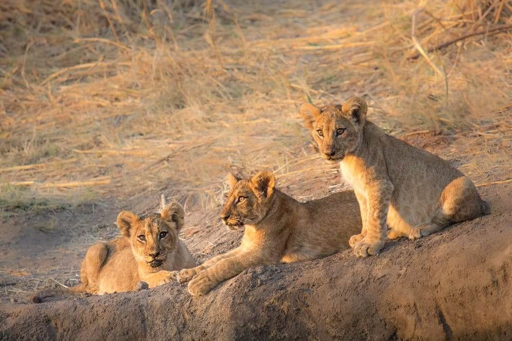 family of lion cubs in ruaha national park, tanzania