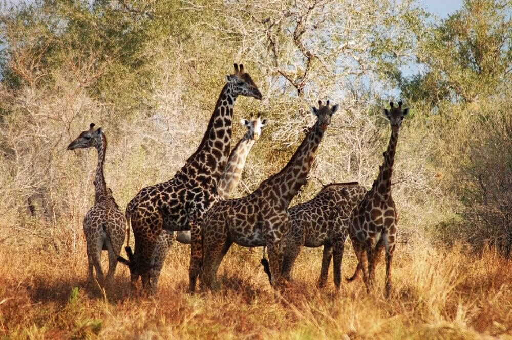 family of masai giraffes in the selous game reserve, tanzania