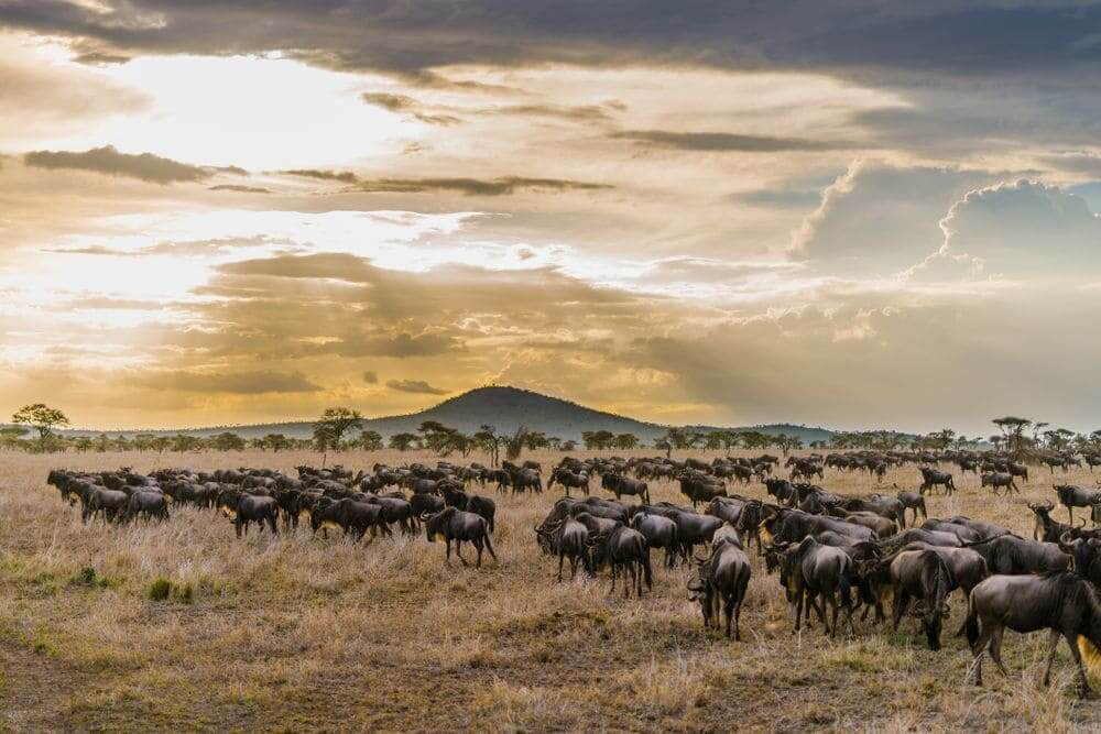 wildebeest crossing the serengeti national park in the great migration between tanzania and kenya