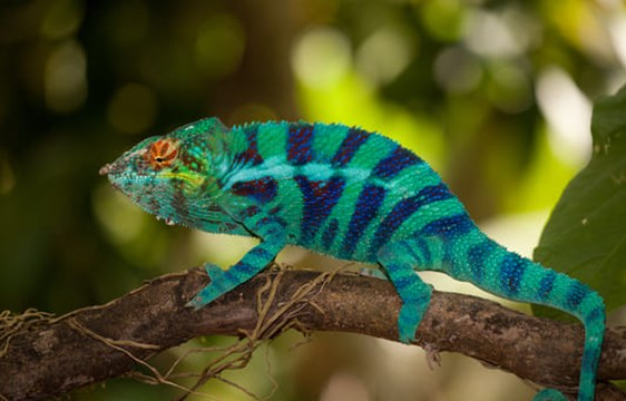 bright blue and green striped chameleon on a tree branch in Madagascar