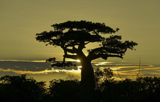 beautiful baobab tree silhouetted at sunset in Madagascar