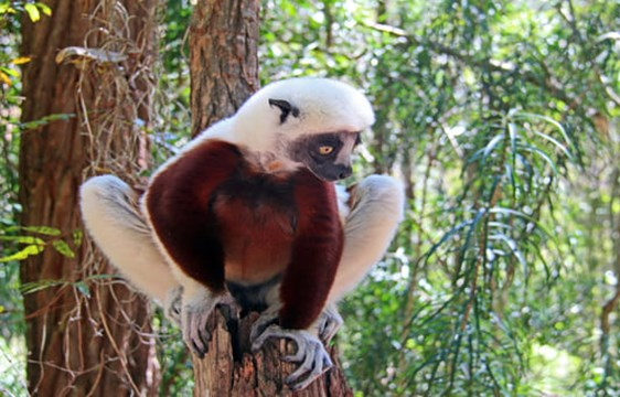 lemur perched on a tree branch in Andasibe Mantadia National Park in Madagascar