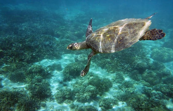 green sea turtle swimming over a coral reef off Nosey Tanikely Island in Mandagascar