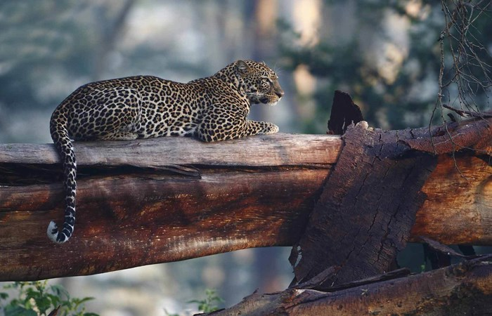 Leopard sitting on a tree in Kenya