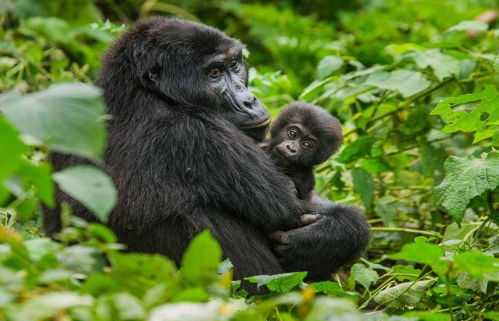 Mountain gorilla with baby in Bwindi, Uganda