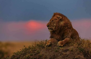 lion at sunset in the Masai Mara, Kenya