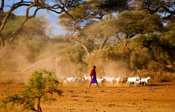shepherd with herd of goats in amboseli