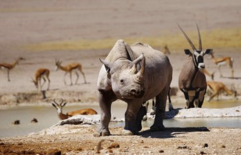 Black rhino with oryx and springboks at Etosha National Park in Namibia