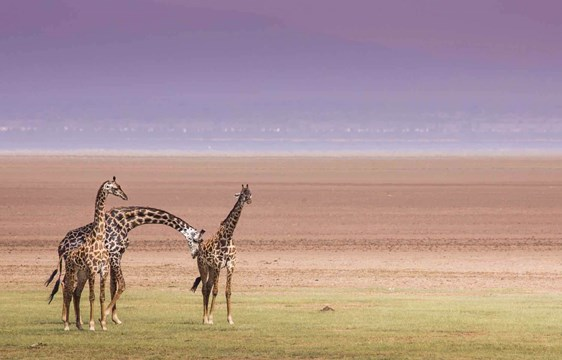 Giraffes at Lake Manyara National Park in Tanzania