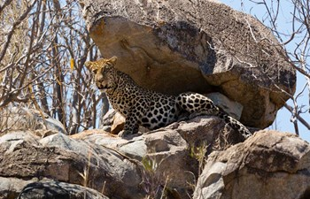 Leopard sitting under a rock in Ruaha National Park, Tanzania