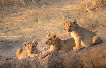 Lion cubs at Ruaha National Park in Tanzania