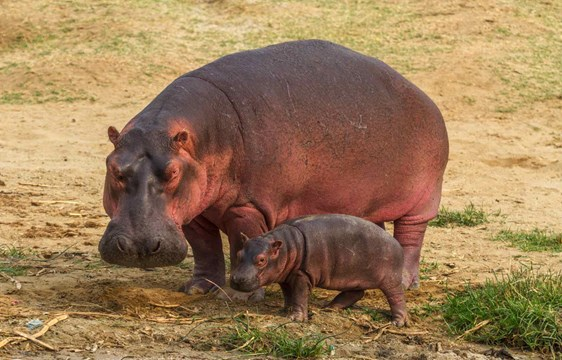 Mother and baby hippo in Uganda